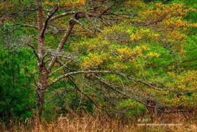 Woodland Needles