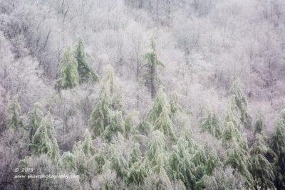 Iced Pines,  Canon 5D Mk3, 70-200mm f/2.8L Mk2, 2X Teleconverter